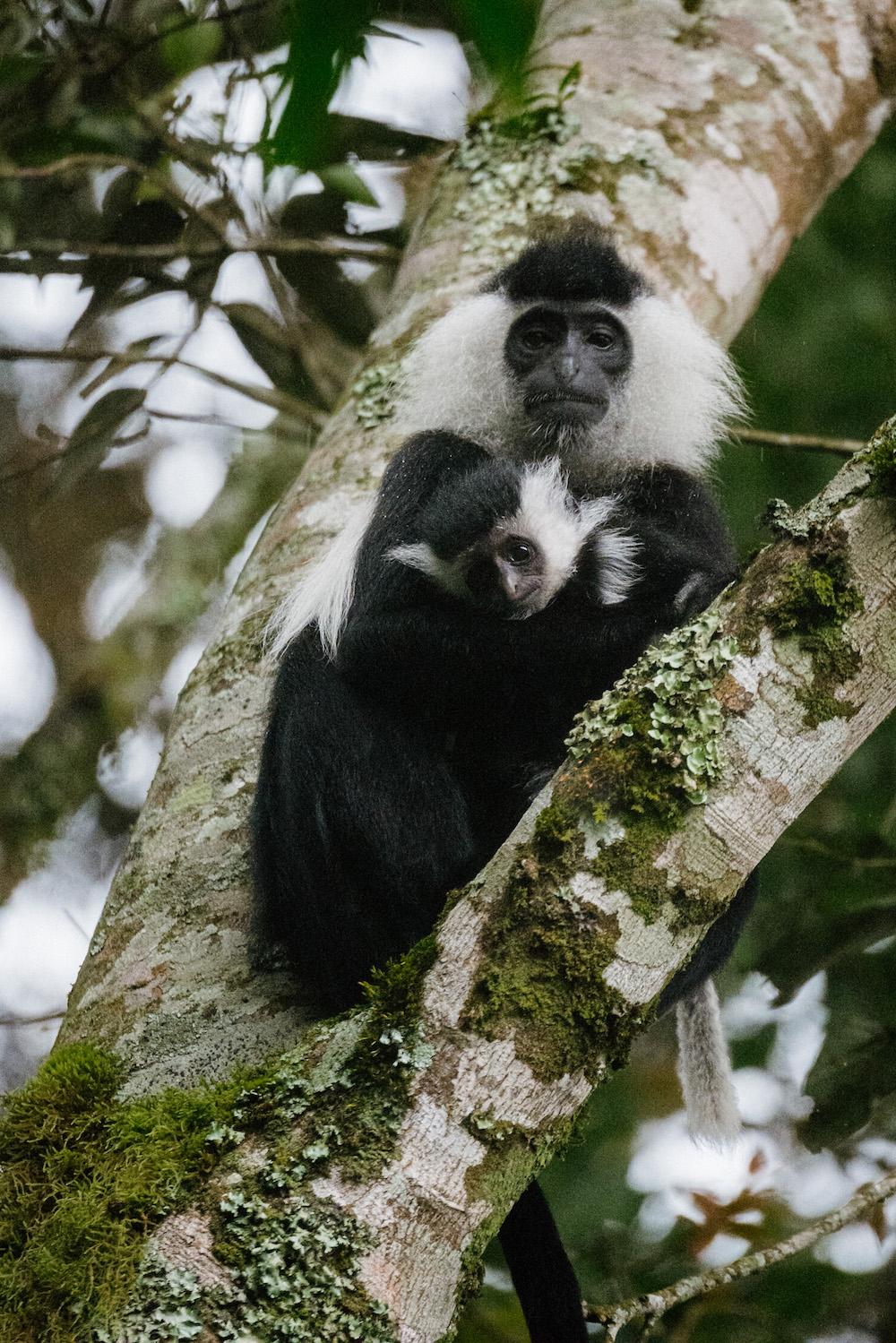 apen in rwanda reizen