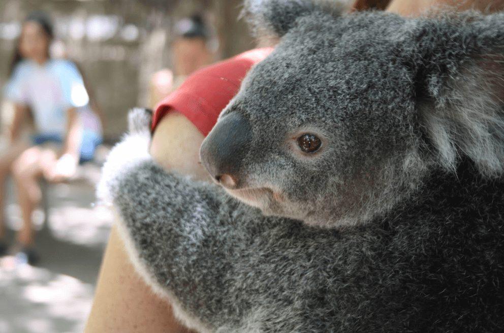 australie koala oostkust hoogtepunten