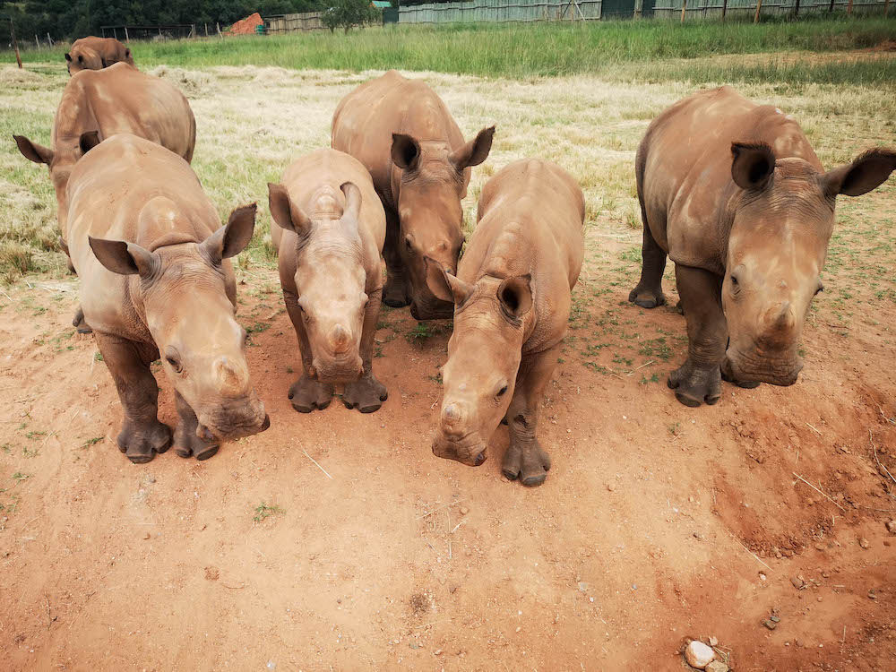baby neushoorn in care for wild rhino sanctuary