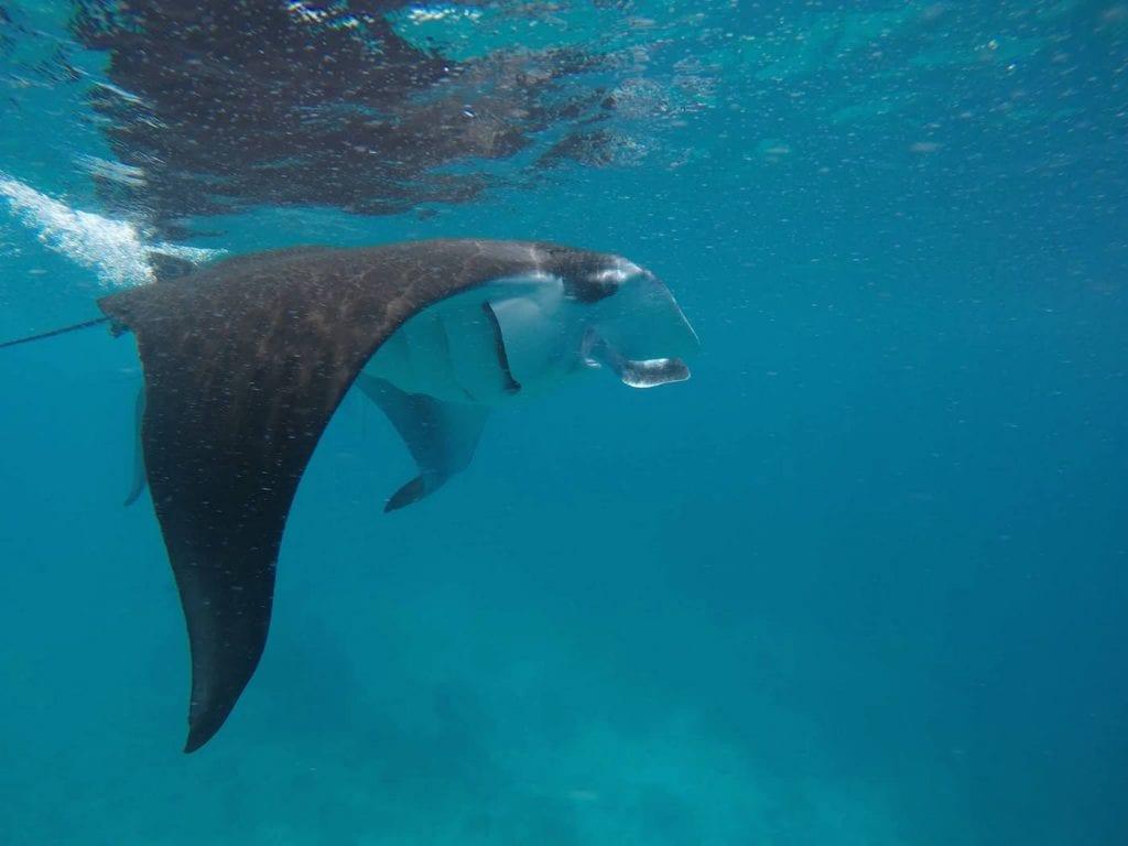 backpacken malediven snorkelen manta rog