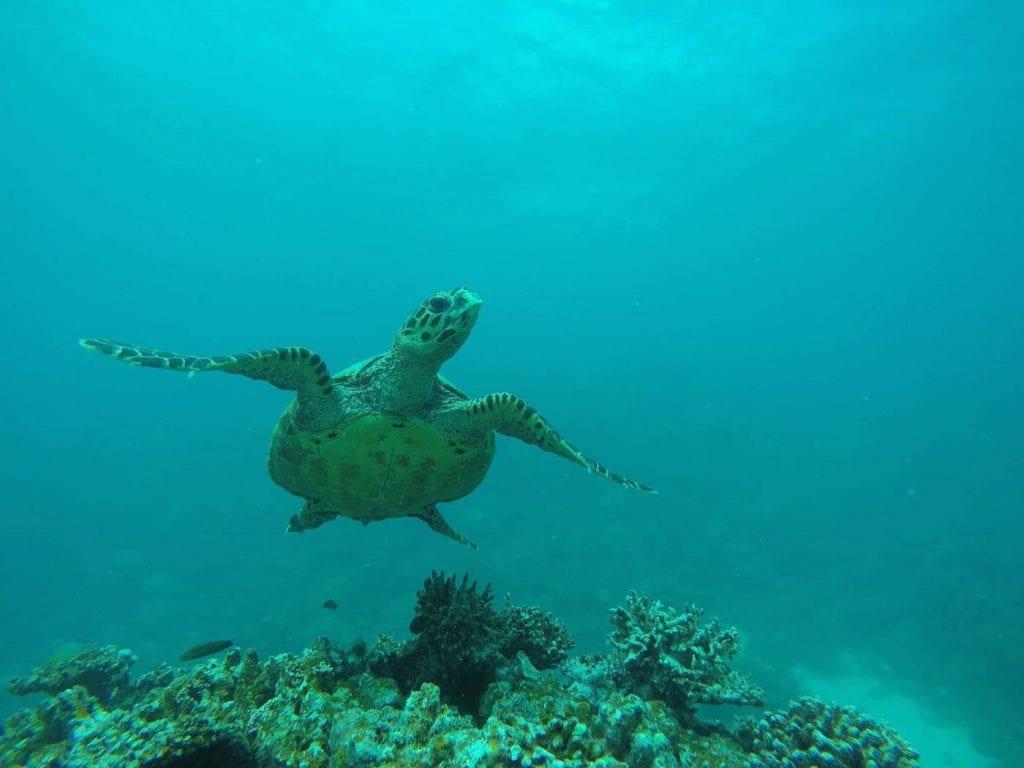 backpacken malediven snorkelen schildpad