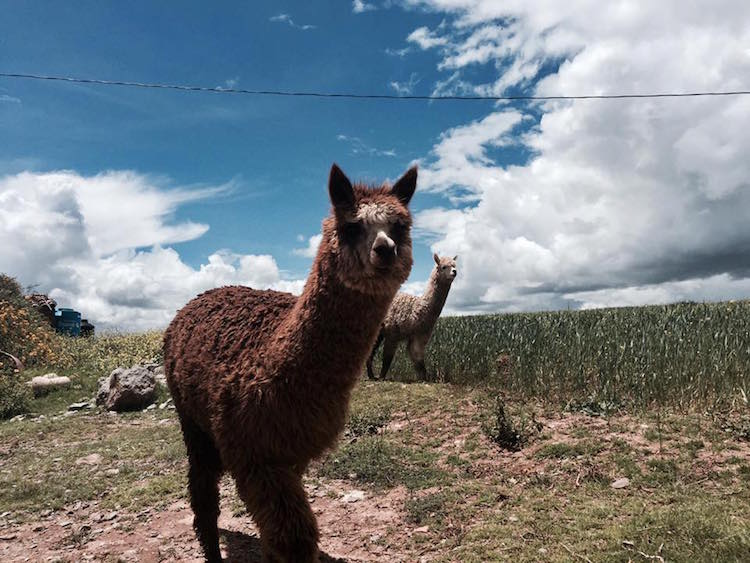 backpacken peru bolivia chili Alpaca