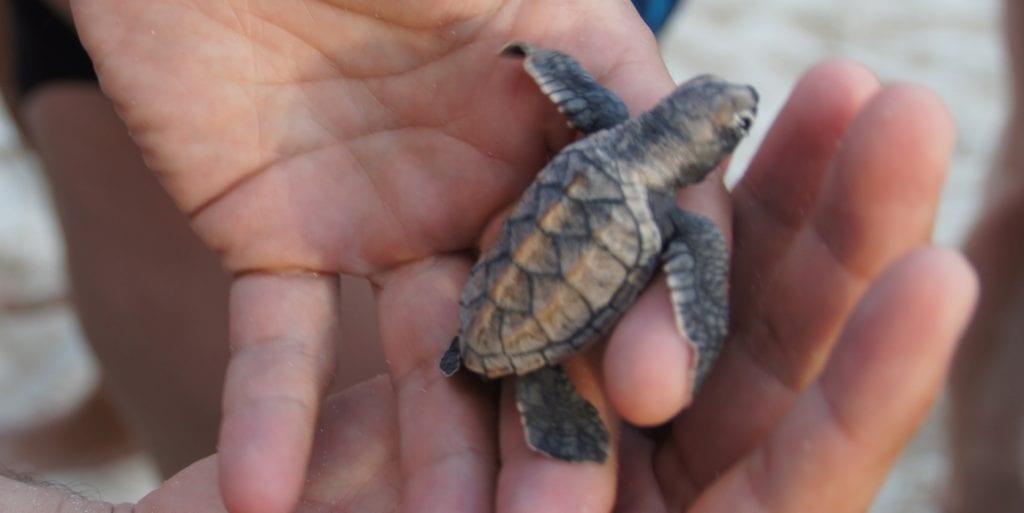 barbados turtle vrijwilligerwerks
