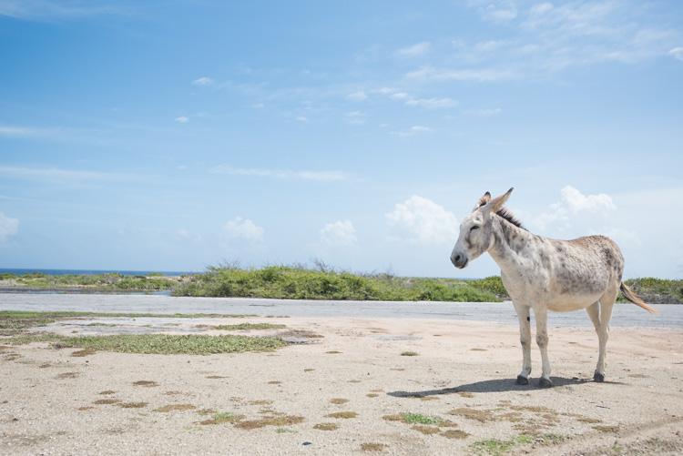 mooiste stranden Aruba ezels