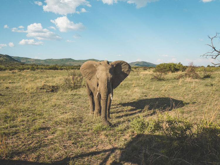 big five Pilanesberg olifant zuid afrika