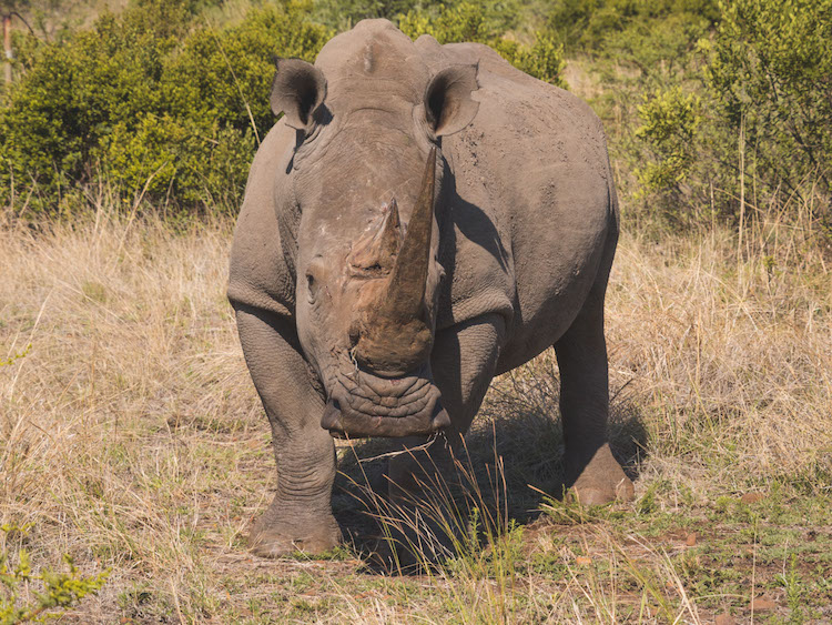 big five Pilanesberg zuid afrika neushoorn