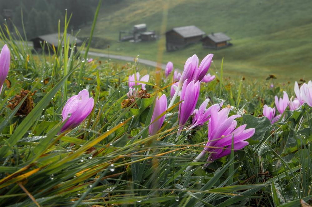 bloemen dolomieten wandelen Seiser Alm