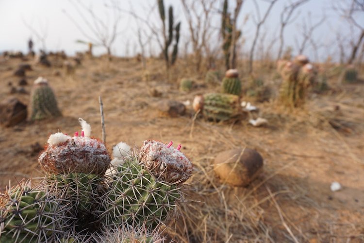 cactus mini tatacoa colombia