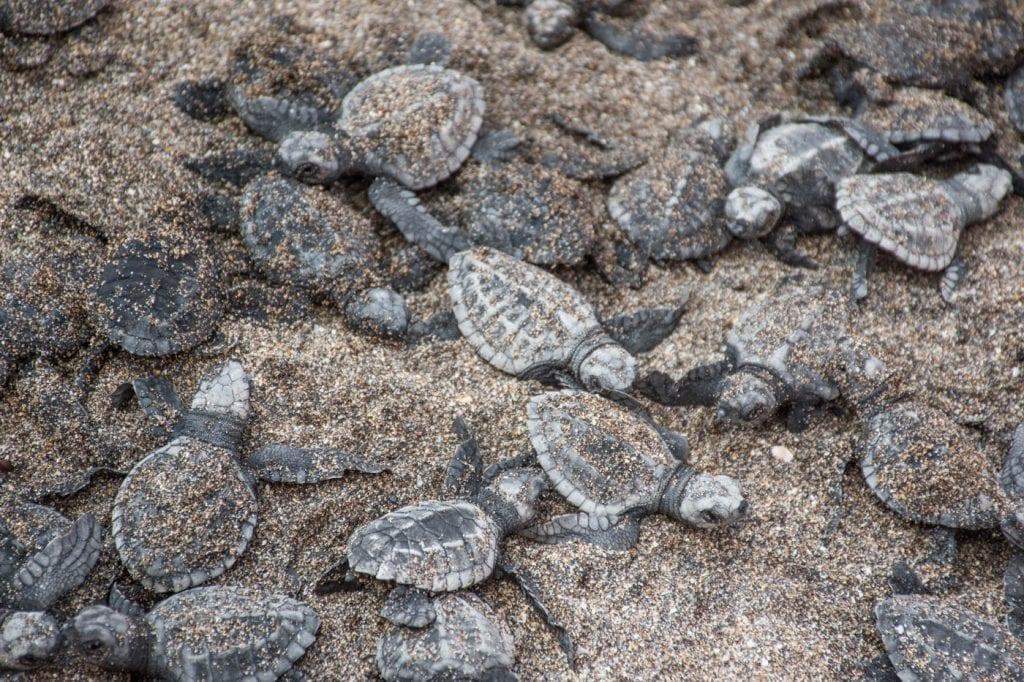 canggu bali schildpadden uitzetten_