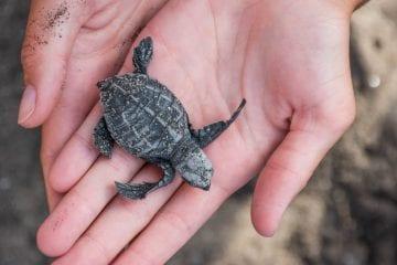 canggu bali schildpadden uitzetten_-3