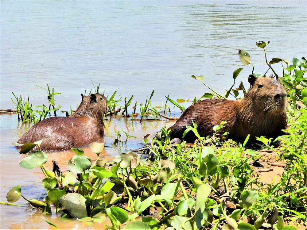 capibara pantanal brazilie
