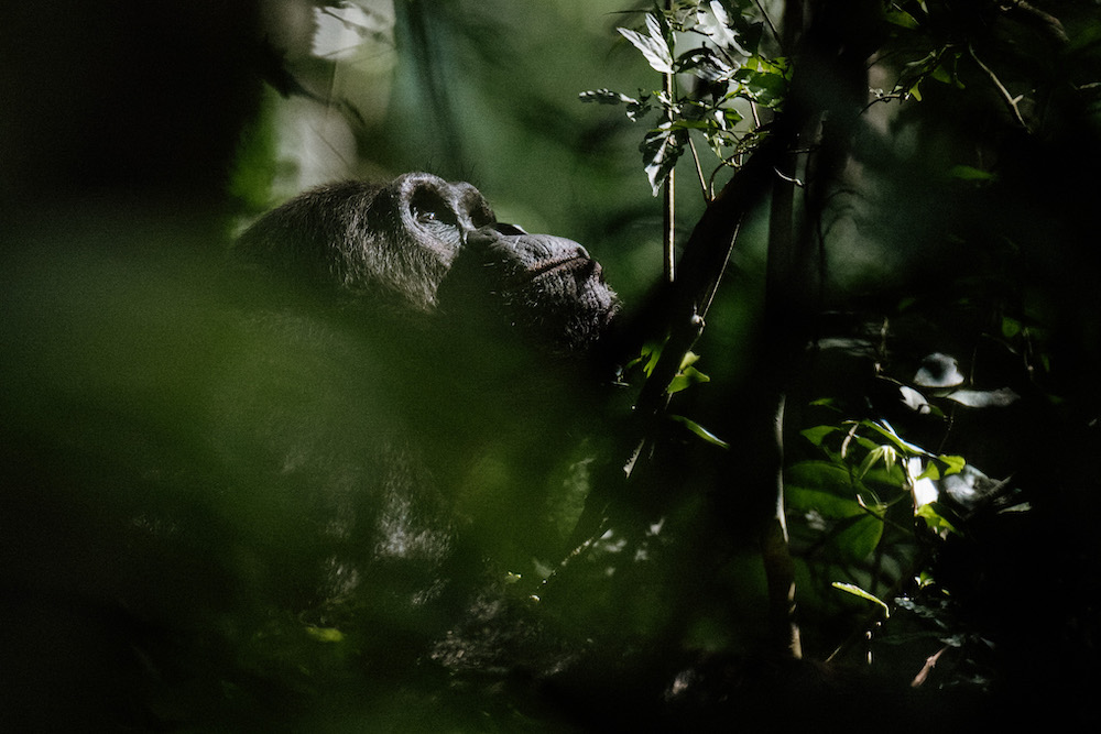 chimpansee zien rwanda