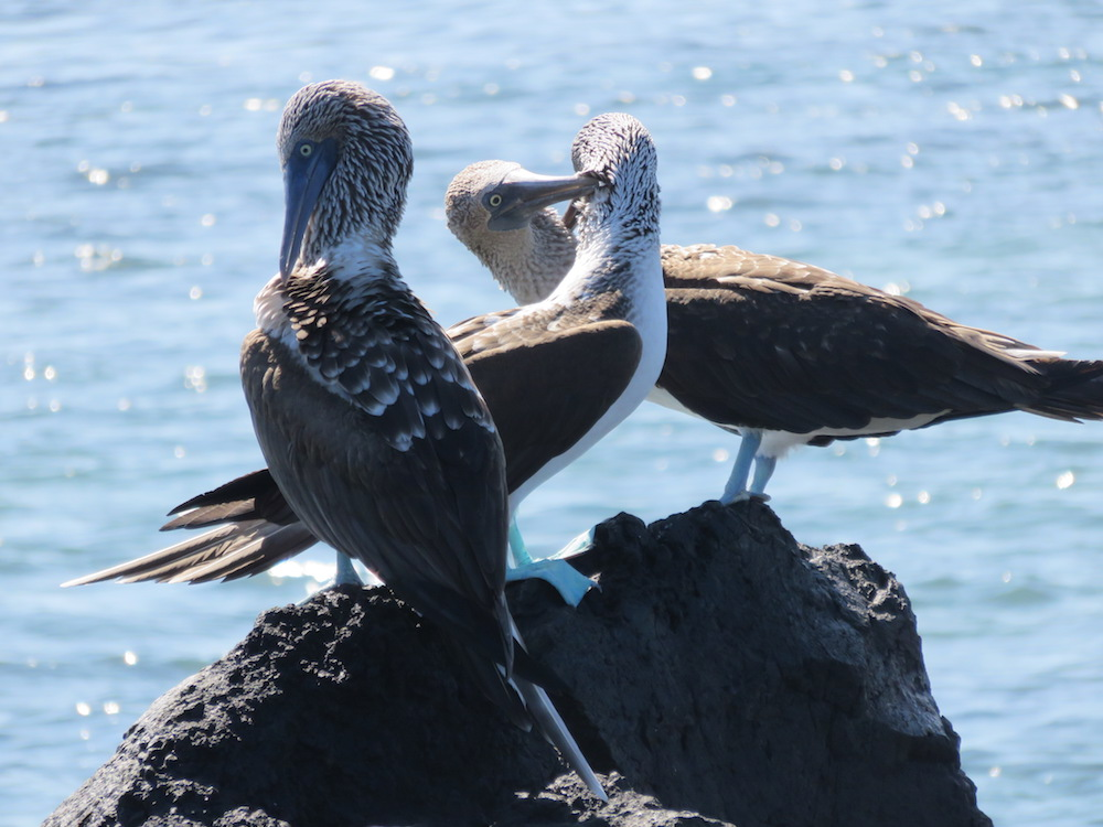 dieren galapagos blue footed booby