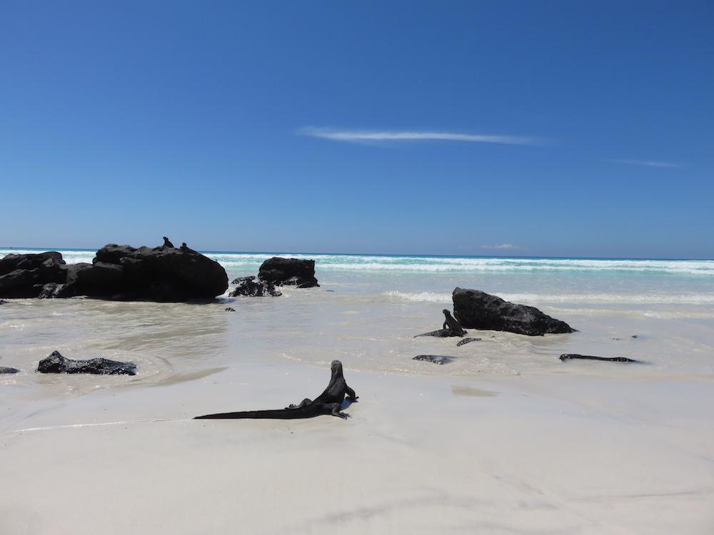 dieren galapagos marine iguana 2