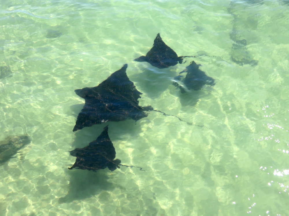 dieren galapagos spotted eagle rays