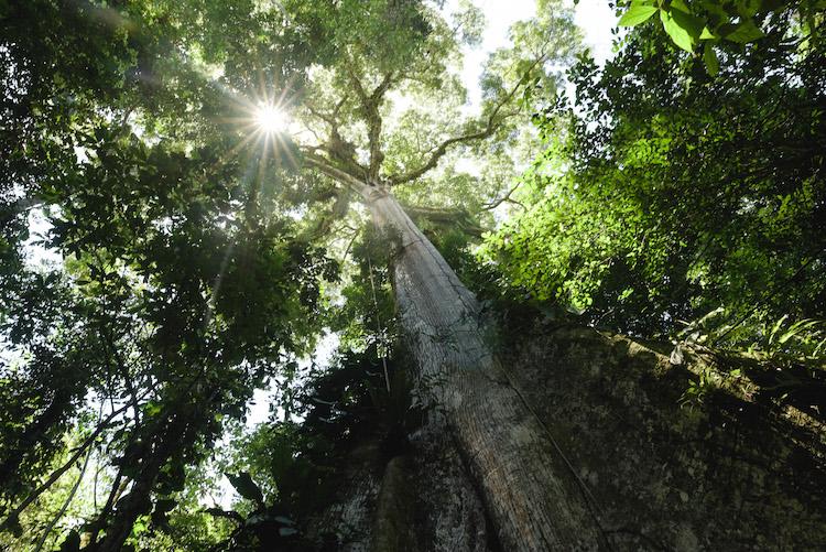 eindeloos hoge bomen manu jungle peru