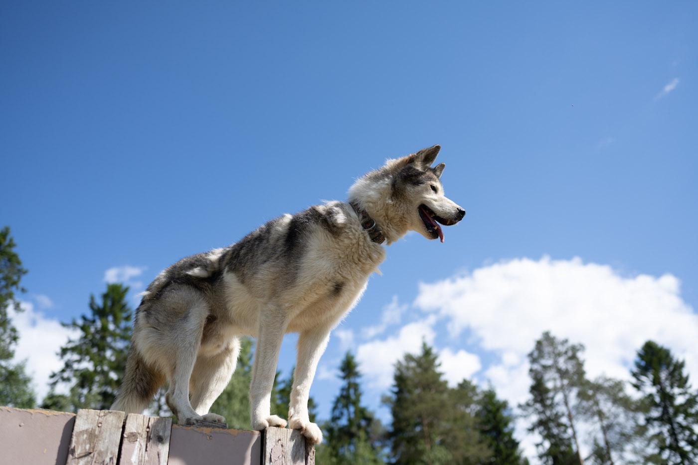 finland vakantie husky