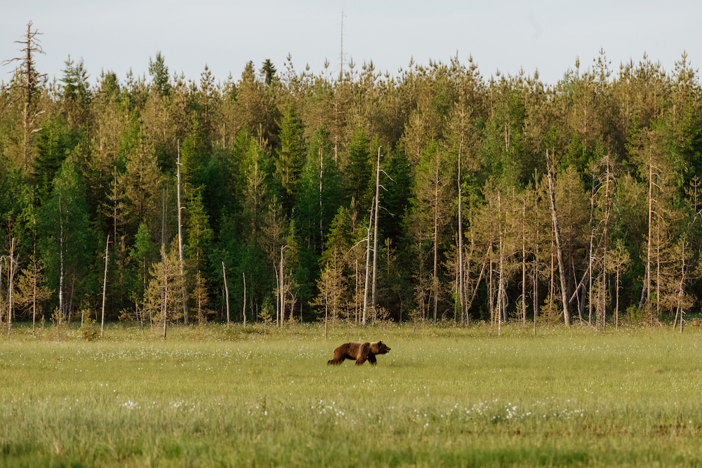fins lapland in de zomer beren spotten finland