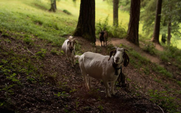 geiten zwitserland