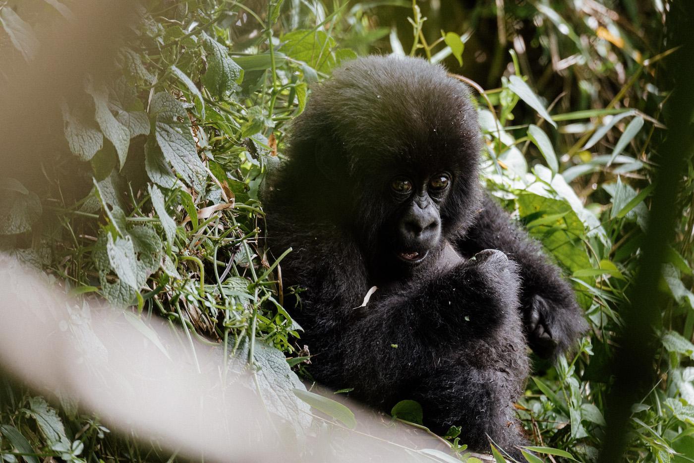 gorilla's zien in rwanda vakantie