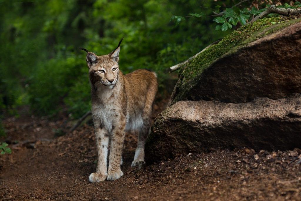 harz lynx dieren 37