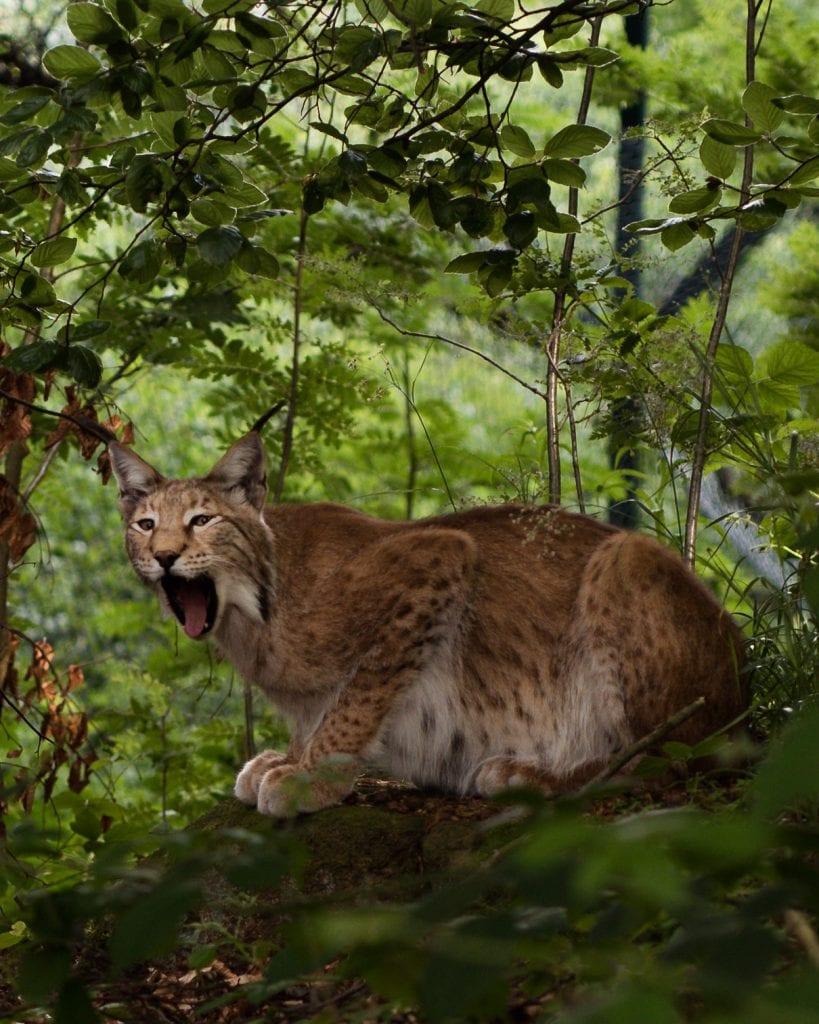 harz lynx dieren duitsland