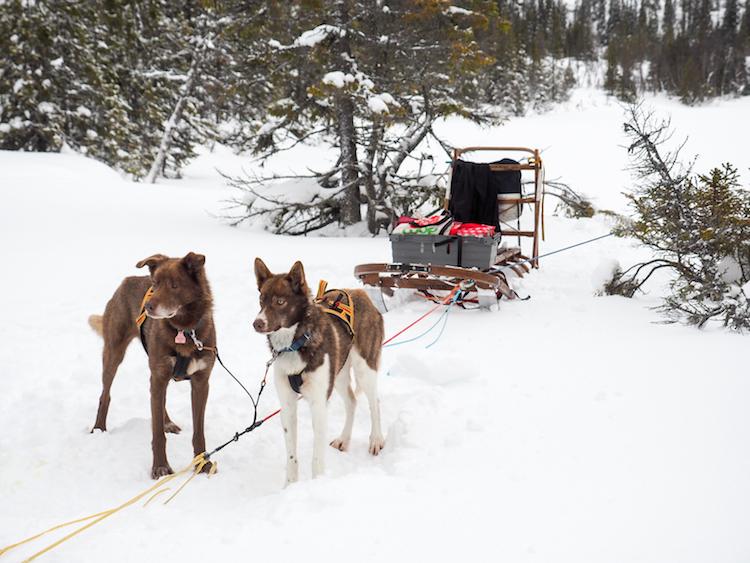 huskytocht in lapland slee