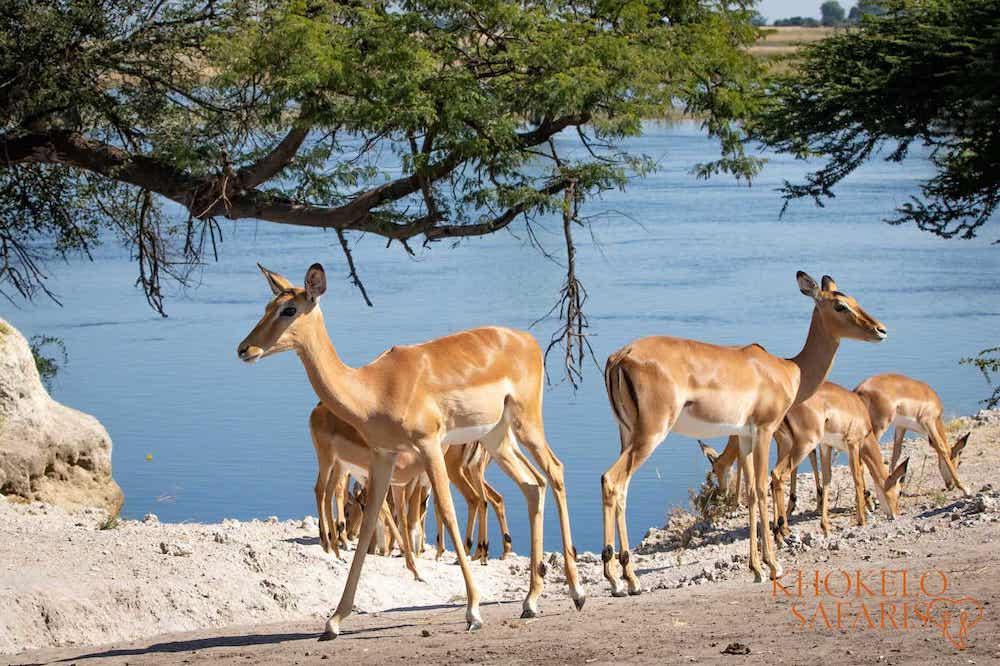 impalas langs de rivier