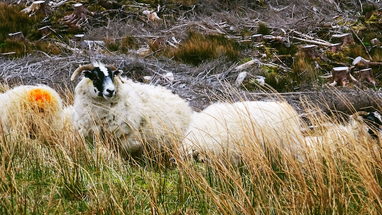 isle of skye schapen schotland
