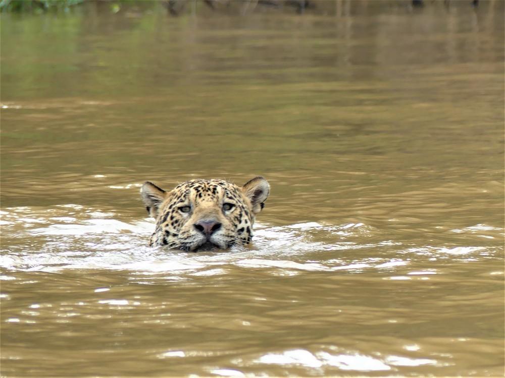 jaguar brazilie pantanal