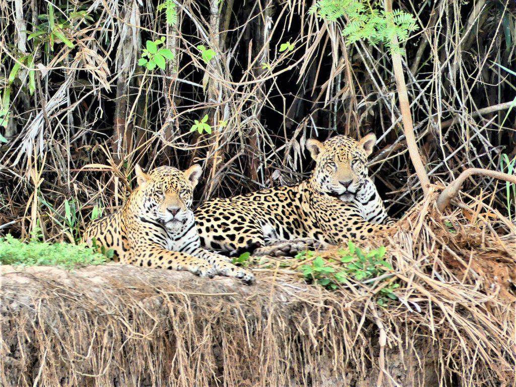 jaguars in pantanal brazilie