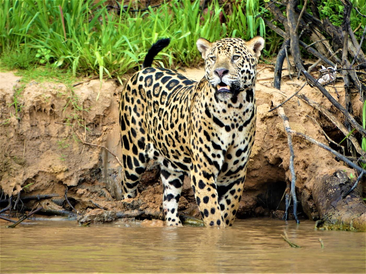 jaguars pantanal brazilie