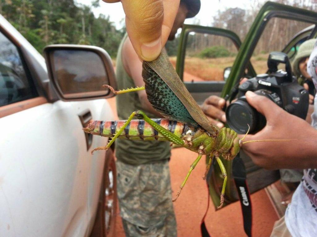jungletocht suriname steve o Sprinkhaan