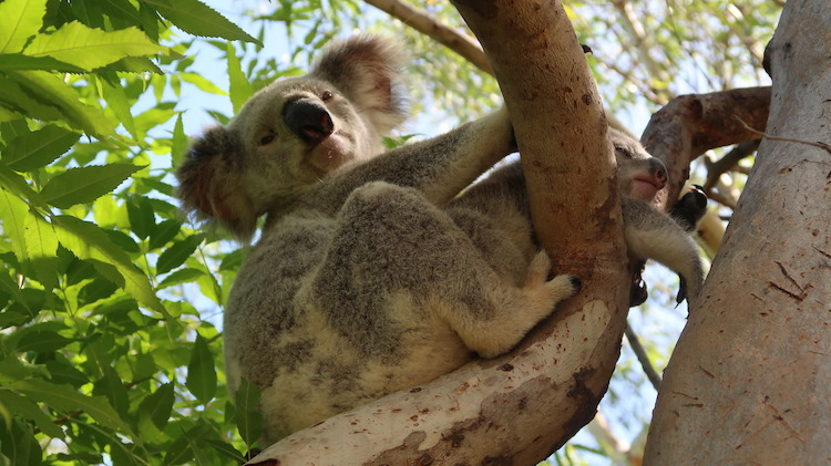 koala alleen backpacken australie