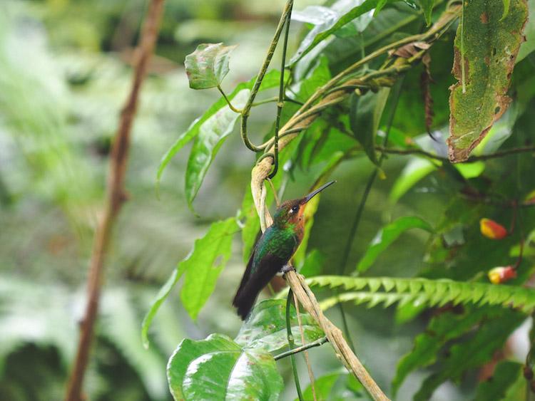 kolibries Catarata del Toro costa rica verhouding