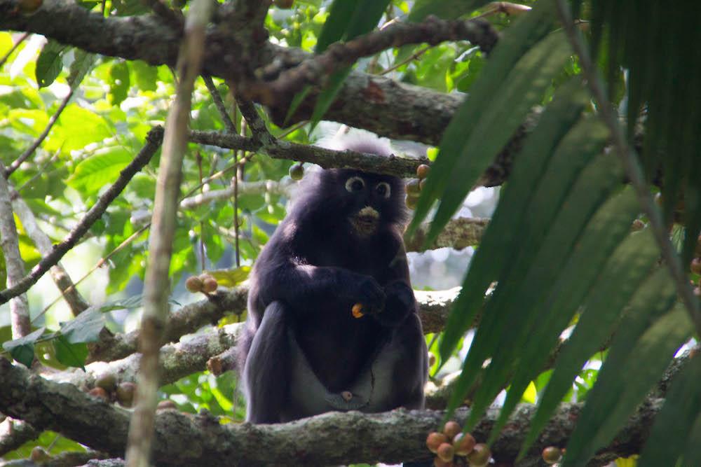 langkawi Dusky Leaf Monkey - jungle