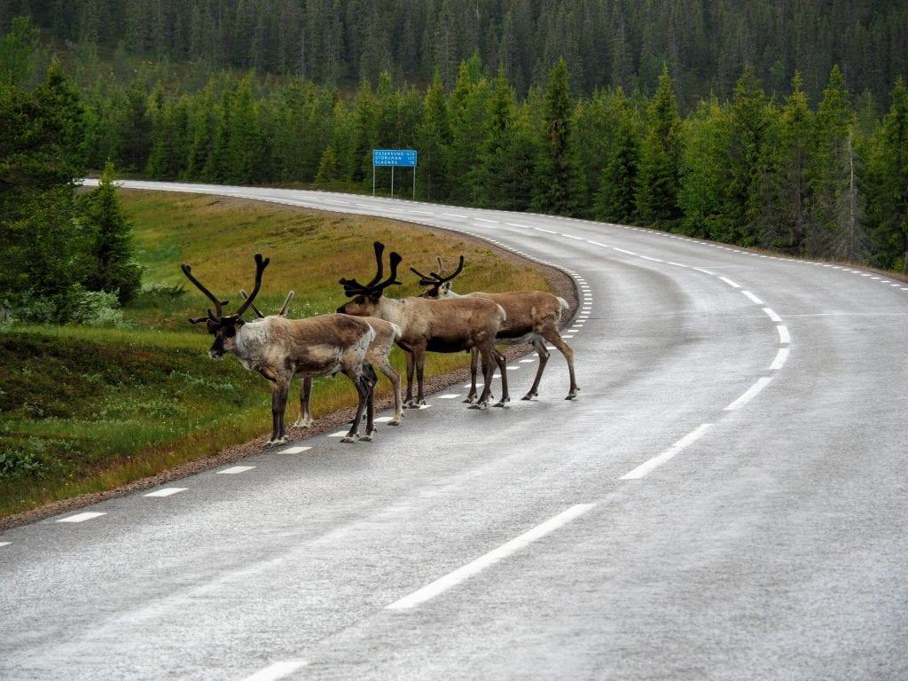 lapland autovakantie rendieren op de weg