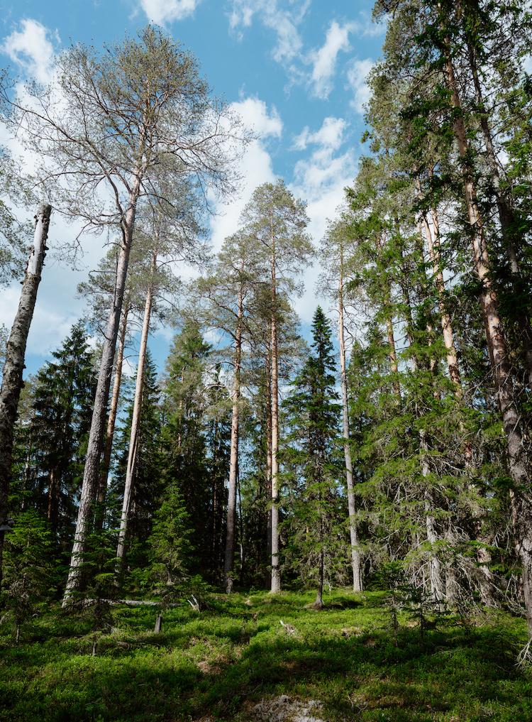 lapland in de zomer bossen
