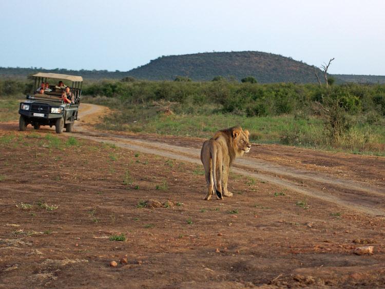 madikwe-zuid-afrika excursies dieren niet doen
