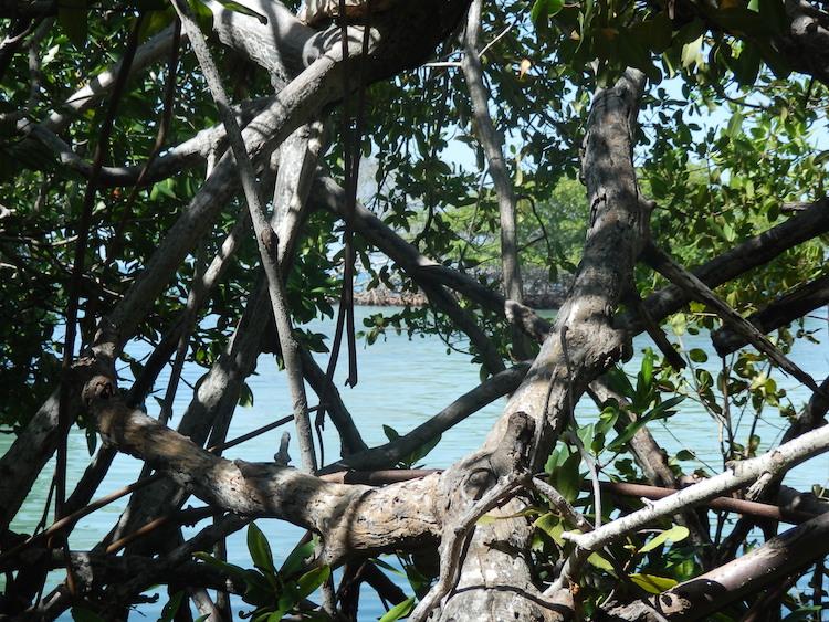 Mangrove in Puerto Rico Caribbean