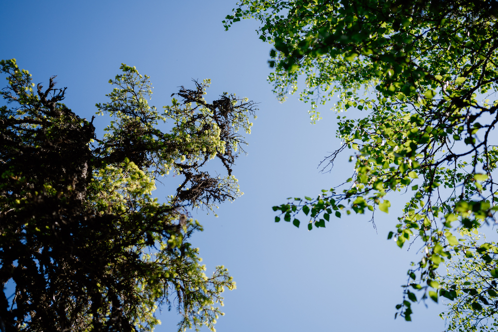 natuur bomen fins lapland zomer