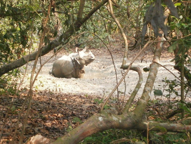neushoorn-in-Chitwan-National-Park-nepal