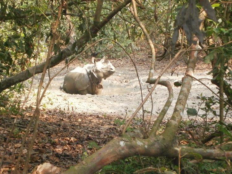 neushoorn-in-Chitwan-National-Park-nepal