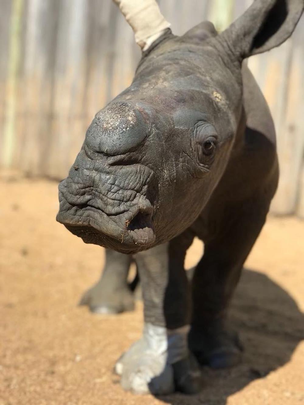 neushoorn in zuid afrika