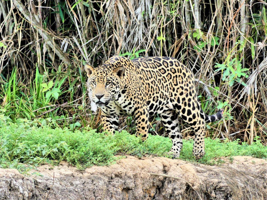 pantanal brazilie jaguars