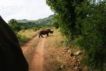 pilanesberg national park big five neushoorn safari