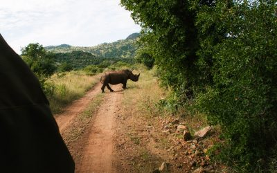 pilanesberg national park big five neushoorn safari