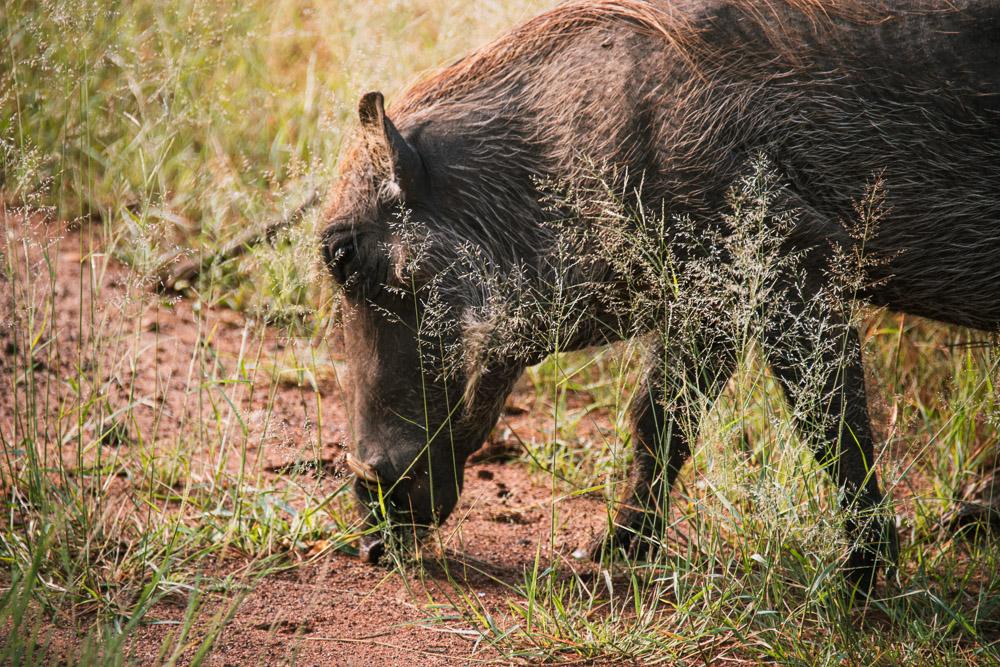 pilanesberg national park safari dieren poemba