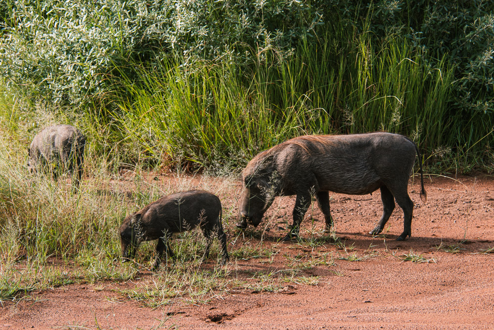 pilanesberg national park safari dieren