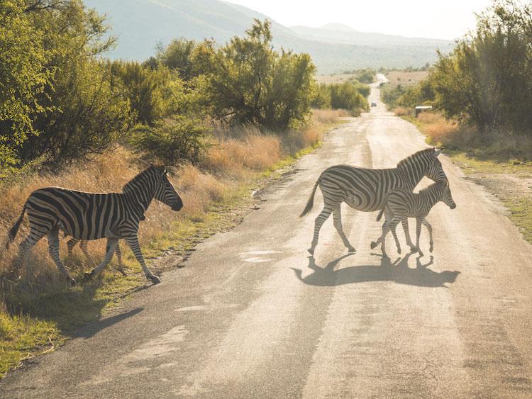 pilanesberg zuid afrika zebra